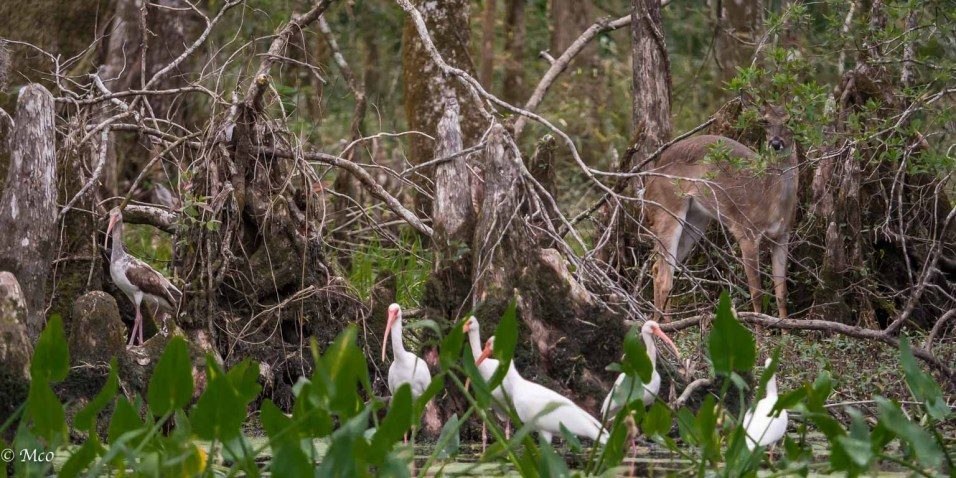 Ibis watched by white-tailed deer