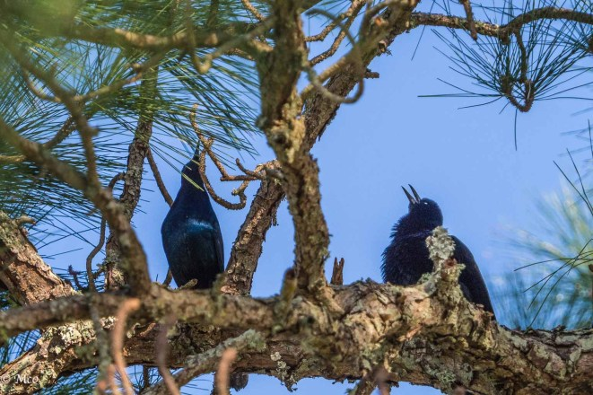 Grackles emitting some unusual mating calls