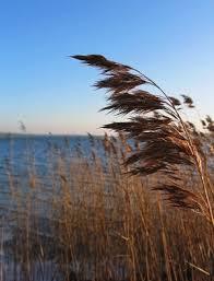 Jak trzcina kołysana przez wiatr