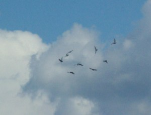 doves in clouds