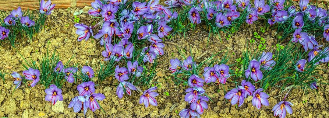 Field of Saffron Crocuses