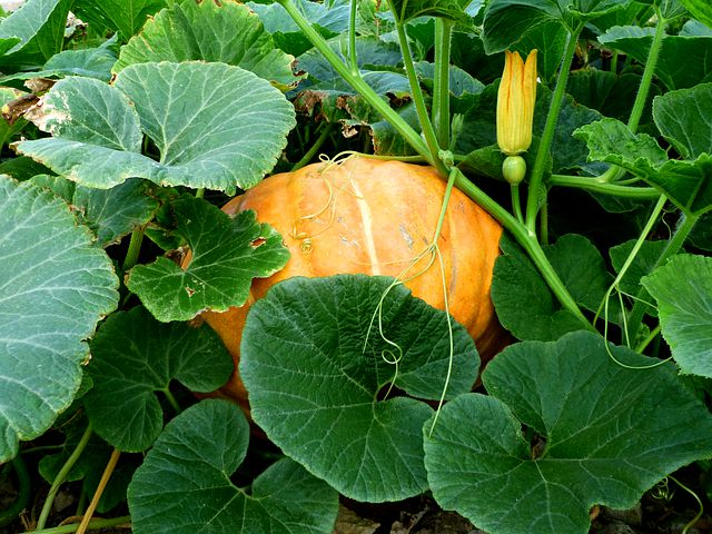 Pumpkin in a garden