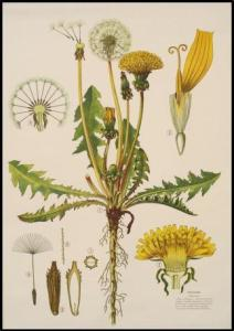 Old Fashioned botanical illustration of the parts of a dandelion