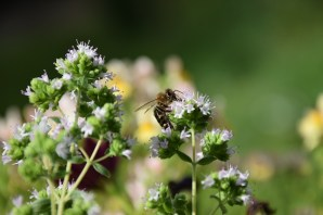 Oregano and bee