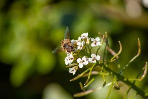 Blooming watercress with bee