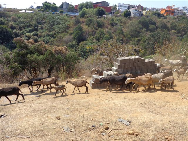 Goats and cinder blocks to be moved