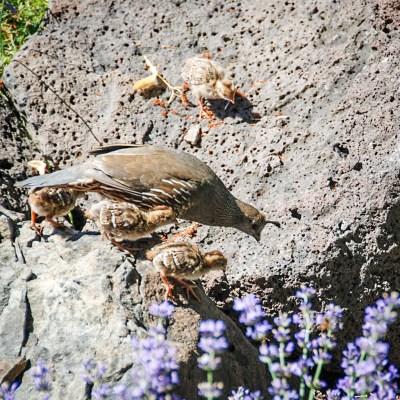 Quail with baby quail