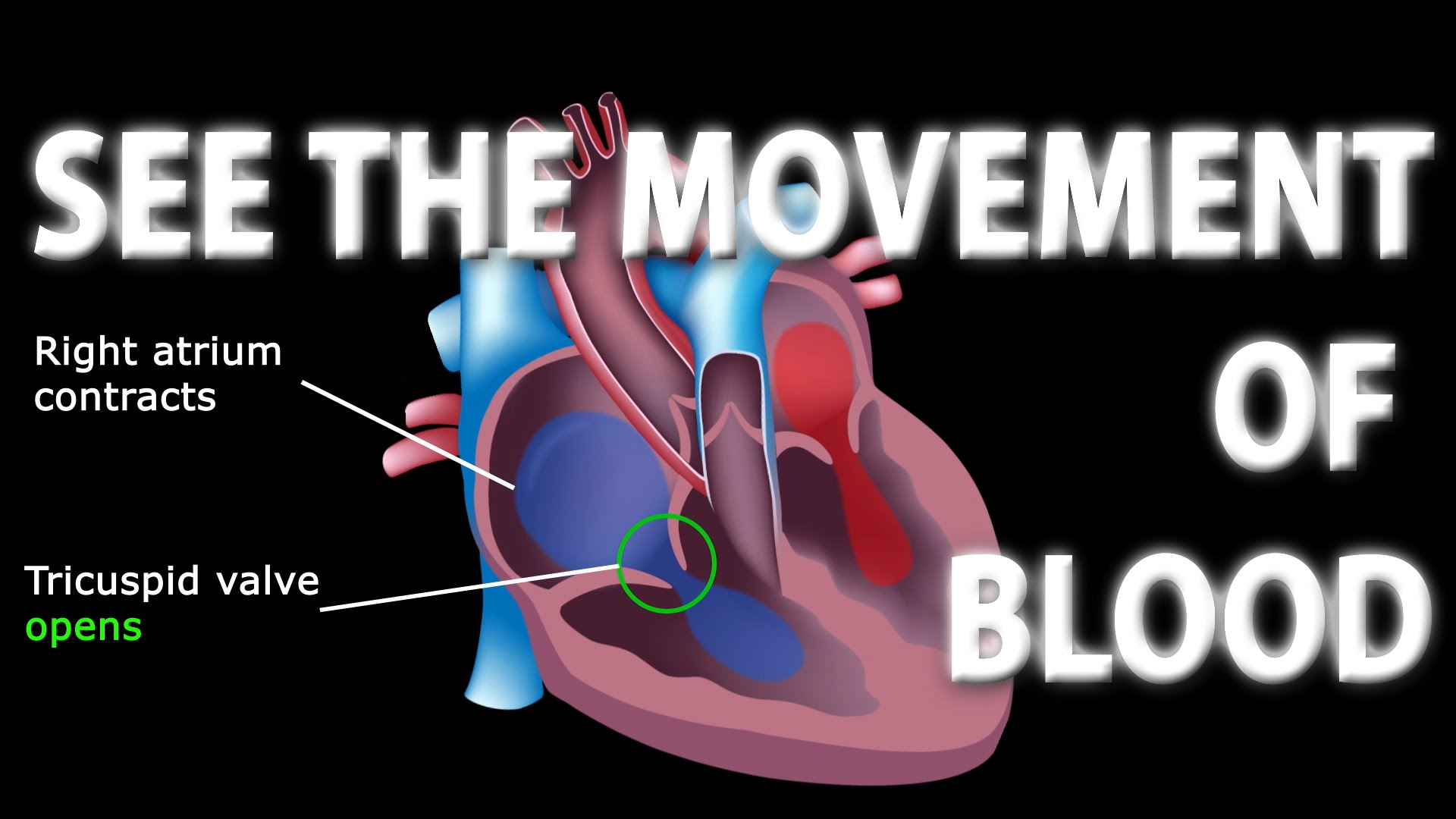 The Pathway Of Blood Flow Through The Heart Animated