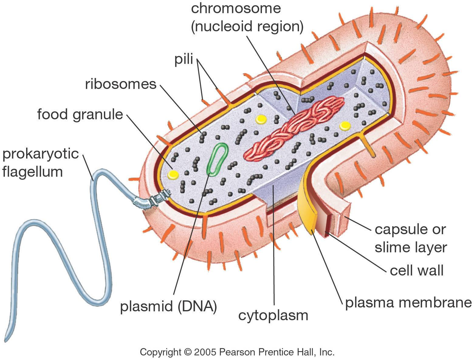 The Structure Of Prokaryotic Cell