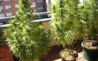 大麻をバルコニーで育てるトレンド!?