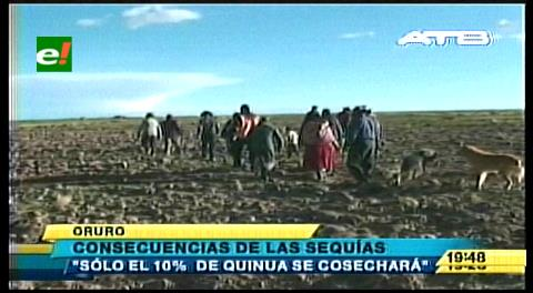 Sequías provocan la pérdida de 90% de la producción de quinua en Oruro
