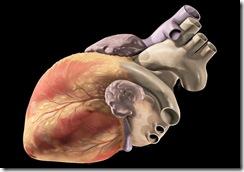 Corazón-Wikipedia-800x560