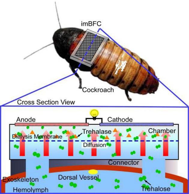 ¿El futuro? Cucarachas cyborg autónomas con pila de combustible
