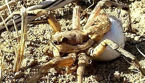 Fotografía facilitada por Rubén Rabaneda-Bueno de una tarántula hembra. EFE