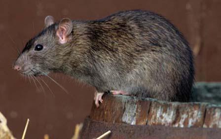 Muere-nino-por-peste-bubonica-en-La-Paz,-investigan-otros-posibles-casos
