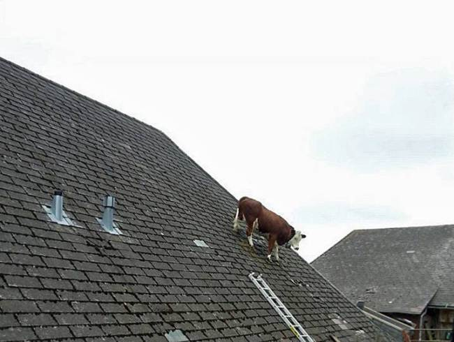 Vaca en el techo