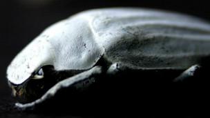 Escarabajo Cyphochilus