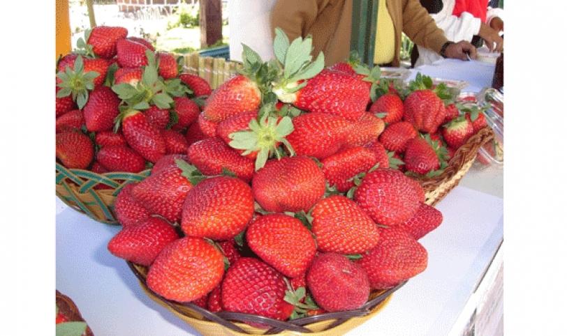 La mayor producción de frutilla se concentra en el municipio de Comarapa con un área cultivada de 300 hectáreas.