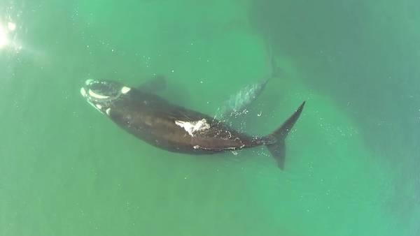 Ternura en el agua. La ballena franca austral y su cría, captadas desde el aire por un drone.