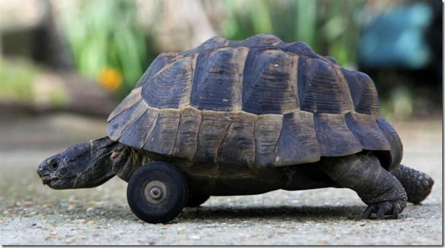 Tortuga-con-ruedas
