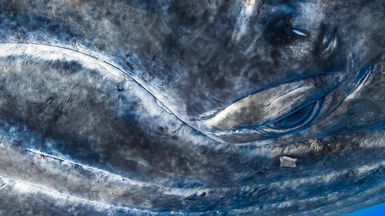 Migración de las ballenas jorobadas, Rurutu, Polinesia Francesa