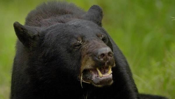 Un oso negro, como el que atacó al cazador dormido. (AP)