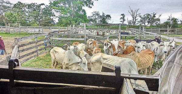 Hace un mes  productores de San Borja han comenzado a trasladar bovinos a zonas altas