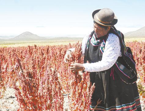 Cultivo. Una productora de quinua real en labores de cosecha en el municipio de Uyuni, departamento de Potosí.