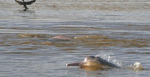viaje de aventura una travesía por sus ríos permite conocer al inquieto bufeo (o delfín de agua dulce) . beni   celebró su aniversario el18 de noviembre