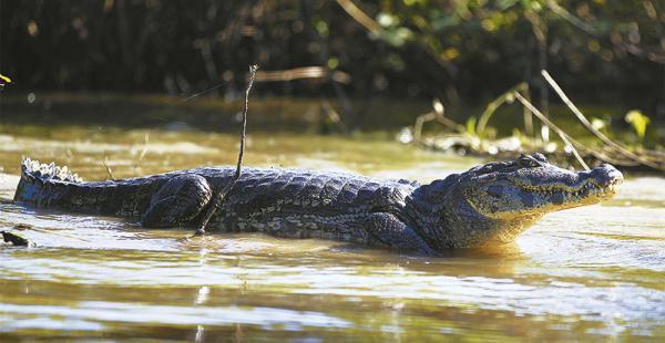 IMPONENTE PRESENCIA EN EL CAMINO Observa  a  los visitantes En los tours por tierra o agua se ve de cerca a  muchos lagartos