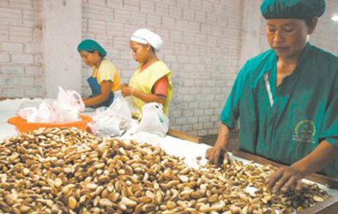 Producción de castaña en el departamento del Beni