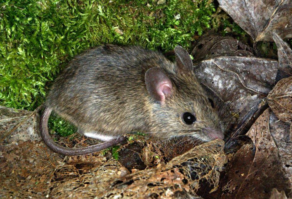 Un ratón de campo en Carrocera (León, España).