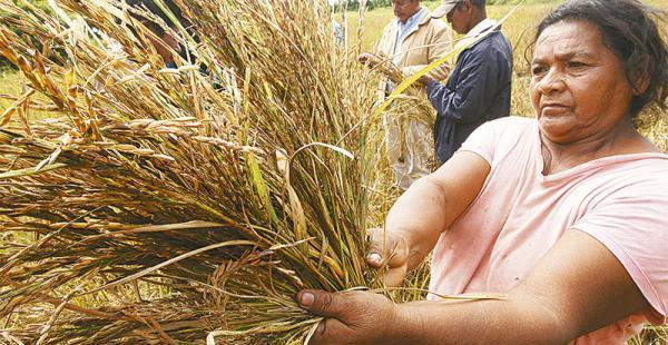 crisis de los arroceros Así como en  Yapacaní , la plaga se presenta en otros municipios Los agricultores mostraron sus cultivos y la chala en la que debía estar el arroz, totalmente vacía