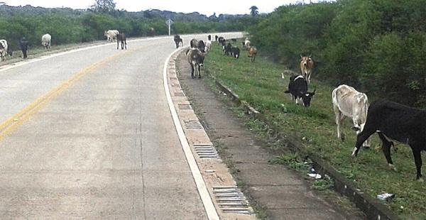Pese a las recomendaciones, los pecuarios no encierran su ganado