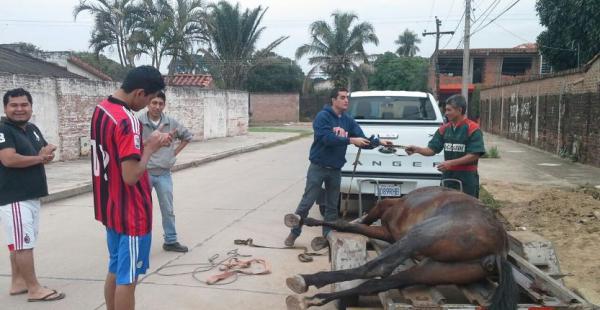 Los animales sufren por estar todo el día atados a un carrito; caen exhaustos de tanto trabajo