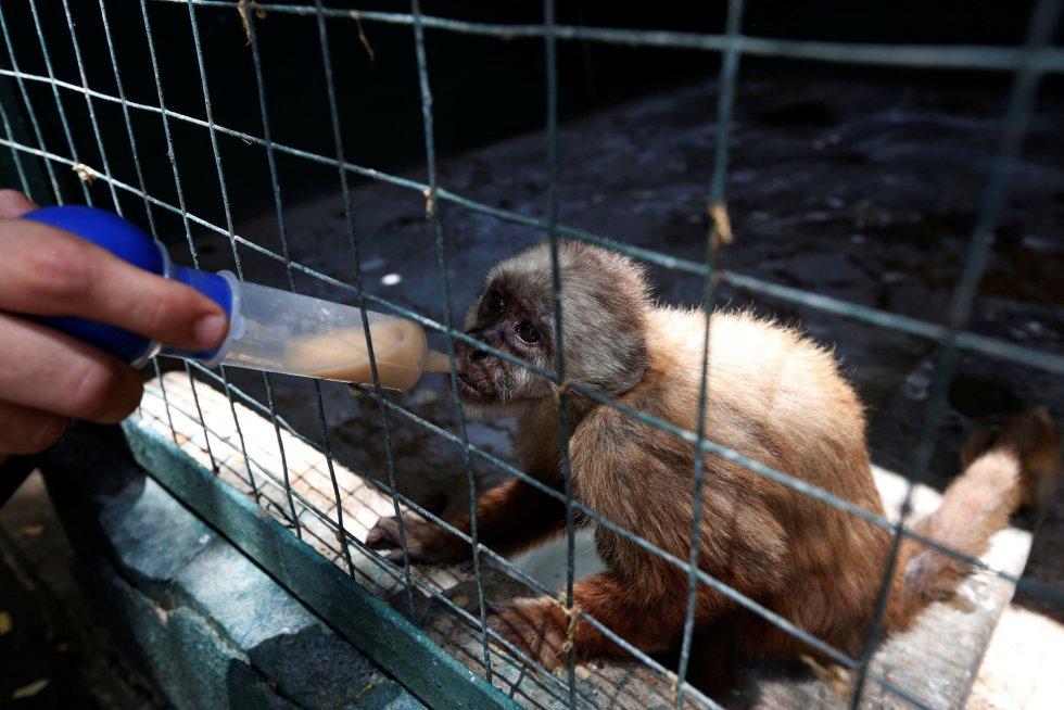 """""""Se necesitan ingresos económicos y suministros alimenticios y medicinales de forma estable y consecuente, de lo contrario se mantiene el riesgo de que se cierre el zoo"""", ha admitido Marisabel Santana, directora del parque Paraguaná. En la imagen, un trabajador suministra vitaminas con una jeringuilla a un mono capuchino, en el zoo de Punto Fijo, el 22 de julio de 2016."""