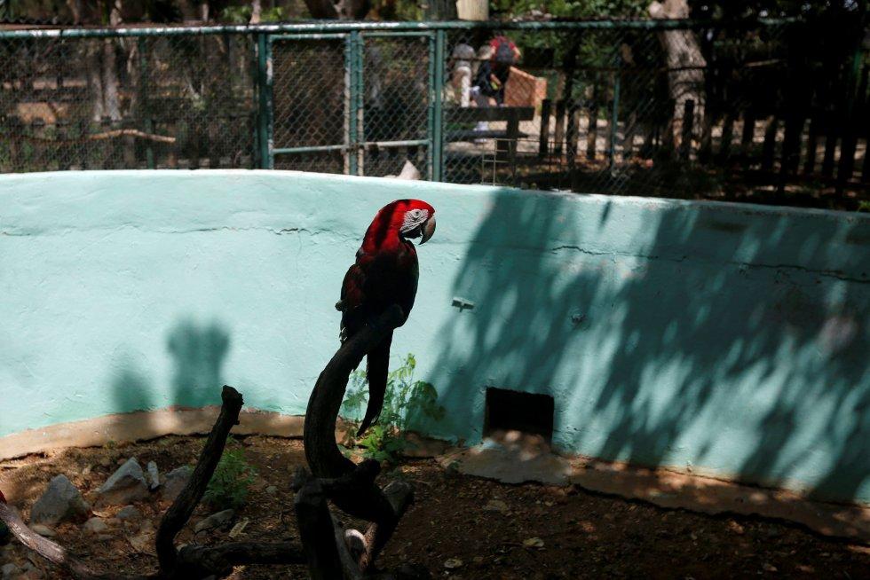 En el zoológico de Paraguaná, en el estado de Falcón, muy cercano a la costa, el pasado mayo se registró la muerte de al menos tres animales. A pesar de que los responsables del parque no han confirmado el motivo de la muerte, los más de 300 animales restantes que aún habitan en el zoo presentan graves síntomas de desnutrición y deshidratación. En la imagen, un guacamayo en su jaula del zoo Paraguaná de Punto Fijo (Venezuela), el 22 de julio de 2016.