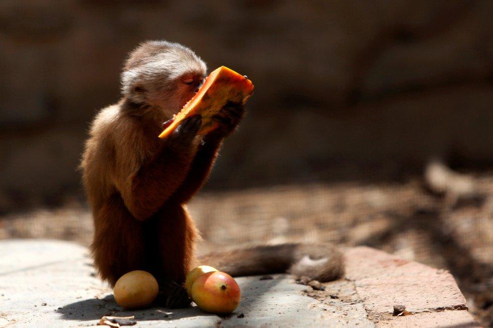 Ante la situación, la directora del parque Paraguaná ha anunciado que el zoológico planea trasladar a una docena de animales -los que más comida consumen- a un parque en el estado de Mérida, cerca de los Andes. Aunque este parque también atraviesa dificultades, podría ofrecerles mejor calidad de vida, ya que cuenta con más recursos, espacio y un clima más benigno. En la imagen, un mono capuchino come un trozo de papaya en el zoo Paraguana de Punto Fijo, Venezuela.