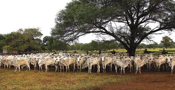 El 80% del ganado es de razas cebuina nelore, brahaman y gyr. Están aplicando mejoramiento genético