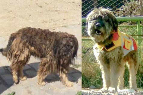 """Este es el antes y el después de """"Rastas"""", uno de los perros rescatados por el personal de La Paz Bus."""