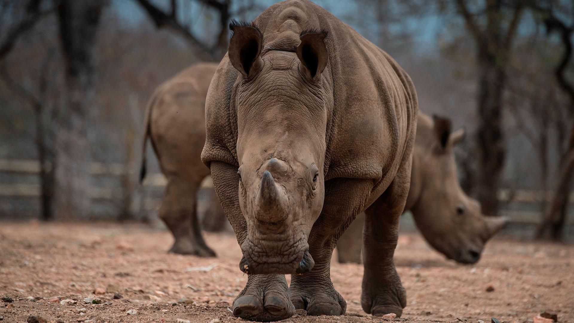 Los rinocerontes, en la mira de los cazadores furtivos de Sudáfrica(AFP)