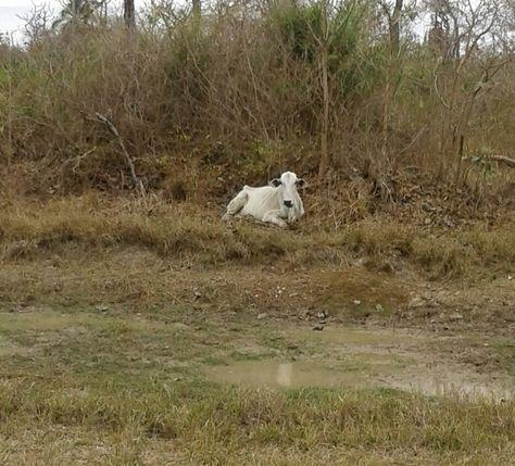 Uno de los ejemplares de ganado. Foto: COE