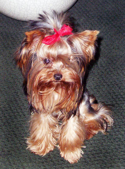 in this undated photo provided by lea dunn, princess, a yorkshire terrier, is shown. oakland, california police are looking for two men who stole the yorkshire terrier at gunpoint and strangled the pup as they fled, thursday, feb. 23, 2006. (ap photo_courtesy of lea dunn via the oakland tribune) ** no sales mags out ** perrito secuestrado y estrangulado eeuu perro raza yorkshire terrier