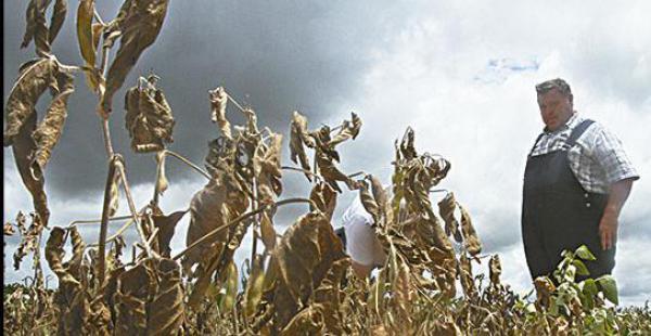 Daño. Más de 20.000 hectáreas de soya fueron afectadas por la sequía