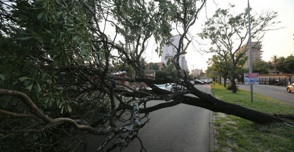 Este frondoso árbol se vino abajo en la avenida Los Cusis, debido a los vientos
