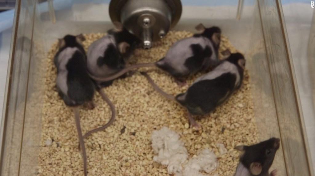 A los ratones calvos les volvió a nacer pelo en el lado derecho pero no en el izquierdo luego de ser tratados con una crema experimental para la pérdida del pelo.