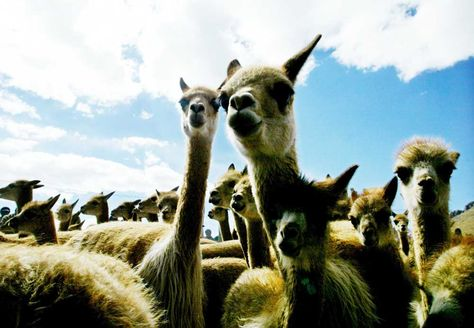 Población de vicuñas en el departamento de La Paz