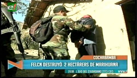 Cochabamba: Felcn destruye dos hectáreas de marihuana