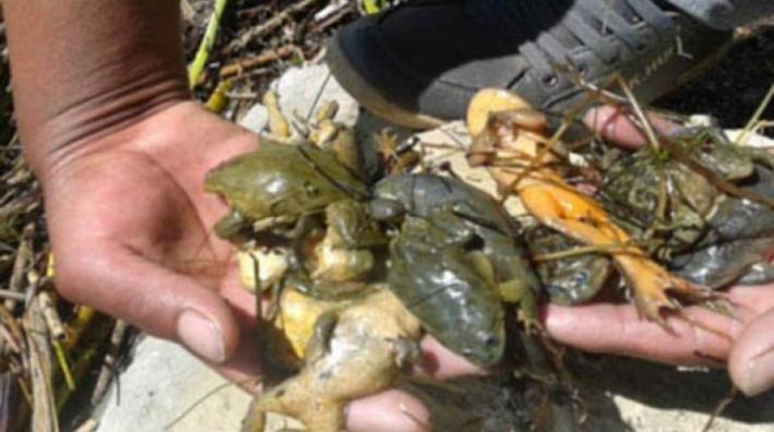 muerte-de-ranas