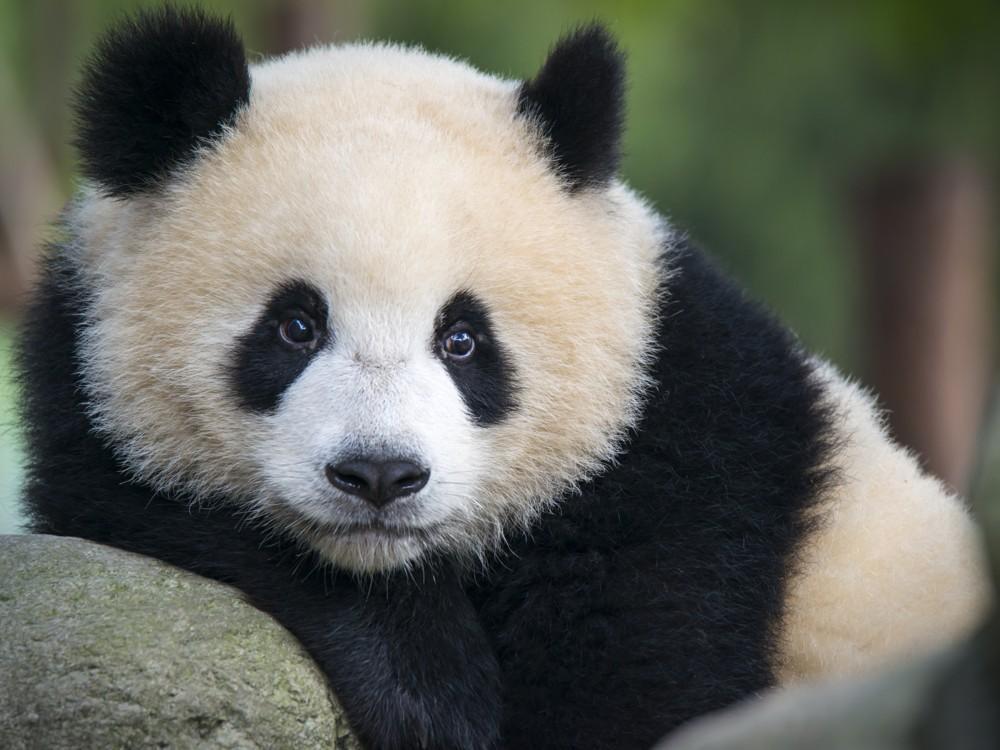 Pandas fuera de peligro